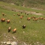 las vacas en verano