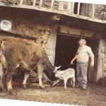 Rafael Cuesta con  una vaca recién parida.